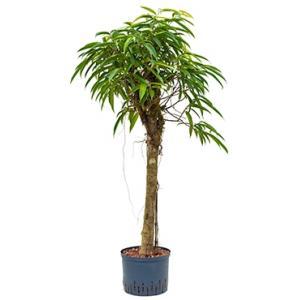 Ficus alii stam M hydrocultuur plant