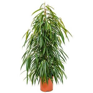 Dagaanbieding - Ficus alii L kamerplant dagelijkse aanbiedingen
