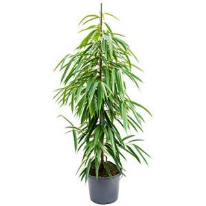 Ficus alii M kamerplant