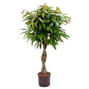 Ficus amstel king gevlochten S hydrocultuur
