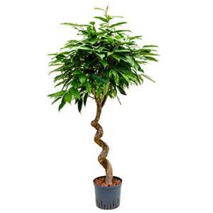 Ficus amstel king spiral S hydrocultuur plant