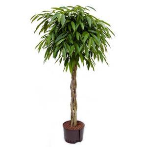 Ficus amstel king gevlochten M hydrocultuur