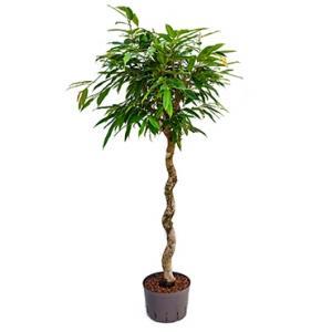 Ficus amstel king spiral XL hydrocultuur plant