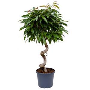 Ficus amstel king spiral kamerplant