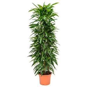 Ficus amstel king columnae kamerplant