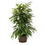 Ficus amstel king 2pp hydrocultuur plant