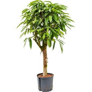 Ficus amstel king stam S hydrocultuur plant
