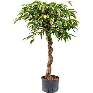 Ficus amstel king spiral M hydrocultuur plant