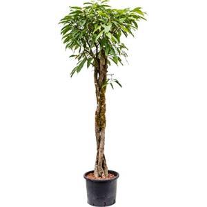 Ficus amstel king gevlochten L hydrocultuur
