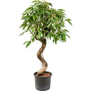 Ficus amstel king spiral L hydrocultuur plant