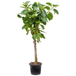 Ficus benghalensis altissima kamerplant