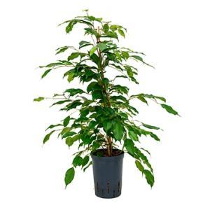 Ficus benjamina toef M hydrocultuur plant