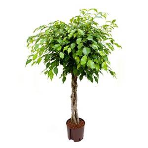 Dagaanbieding - Ficus benjamina gevlochten hydrocultuur plant dagelijkse aanbiedingen