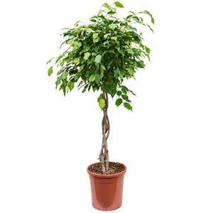 Ficus benjamina gevlochten kamerplant