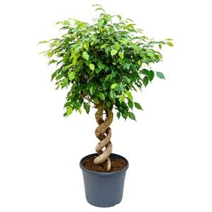 Ficus benjamina spiral double kamerplant