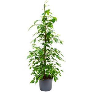 Ficus benjamina toef kamerplant
