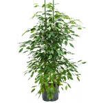 Ficus benjamina 2pp hydrocultuur plant