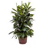 Ficus cyathistipula 6pp S hydrocultuur plant