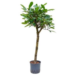 Dagaanbieding - Ficus cyathistipula stam hydrocultuur plant dagelijkse aanbiedingen