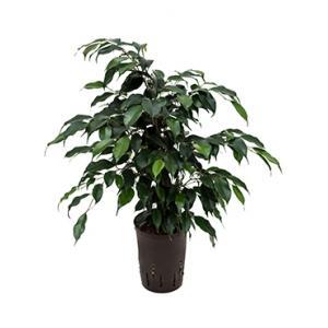 Ficus danielle S hydrocultuur plant
