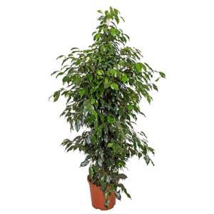 Ficus danielle M kamerplant