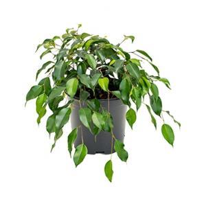 Ficus danielle S kamerplant