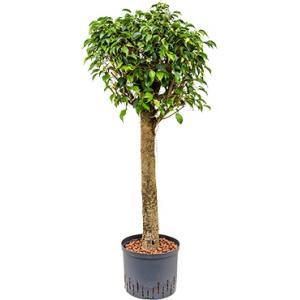 Dagaanbieding - Ficus danielle stam M hydrocultuur plant dagelijkse aanbiedingen