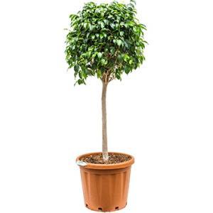 Dagaanbieding - Ficus danielle L kamerplant dagelijkse aanbiedingen