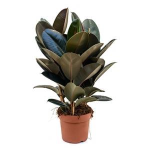 Ficus elastica abidjan S kamerplant