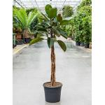 Ficus elastica burgundy kamerplant