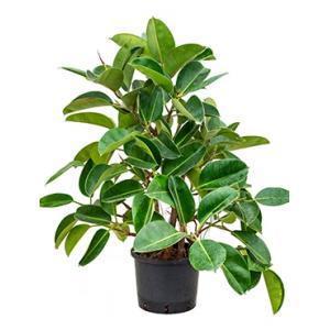 Ficus elastica robusta vertakt hydrocultuur plant