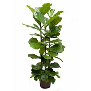 Dagaanbieding - Ficus lyrata 3pp M hydrocultuur plant dagelijkse aanbiedingen
