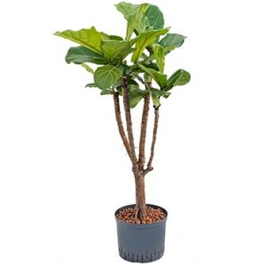 Ficus lyrata stam vertakt M hydrocultuur plant
