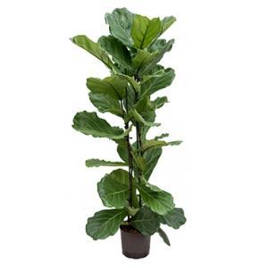 Ficus lyrata 2pp M hydrocultuur plant
