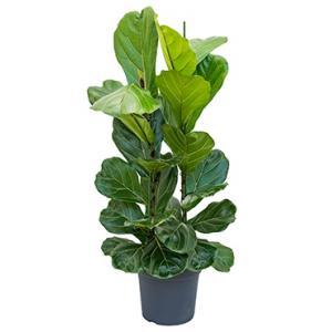 Dagaanbieding - Ficus lyrata L kamerplant dagelijkse aanbiedingen