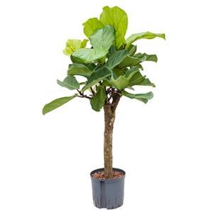 Ficus lyrata stam S hydrocultuur plant