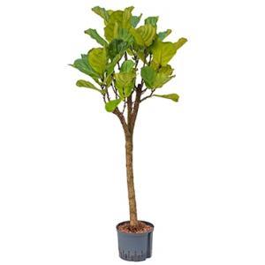 Dagaanbieding - Ficus lyrata stam XL hydrocultuur plant dagelijkse aanbiedingen