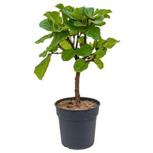 Ficus lyrata stam M kamerplant