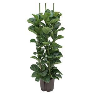 Dagaanbieding - Ficus lyrata bambino 3pp S hydrocultuur plant dagelijkse aanbiedingen