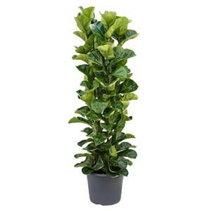 Ficus lyrata bambino L kamerplant