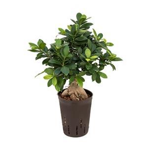 Ficus microcarpa ginseng S bonsai hydrocultuur plant