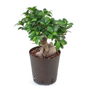 Ficus microcarpa ginseng M bonsai hydrocultuur plant