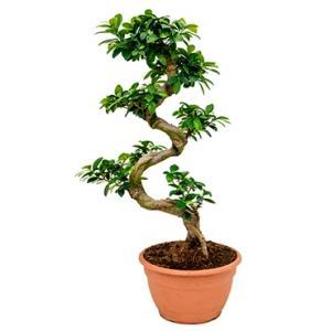 Ficus microcarpa compacta bonsai S kamerplant