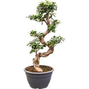 Ficus microcarpa compacta bonsai XS kamerplant