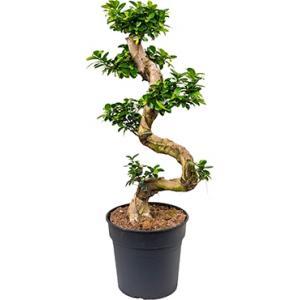 Ficus microcarpa compacta bonsai M kamerplant