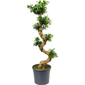 Ficus microcarpa compacta bonsai L kamerplant