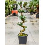 Ficus microcarpa compacta bonsai XXL kamerplant
