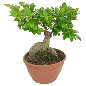 Ficus microcarpa ginseng Bonsai du Bonzwaze kamerplant