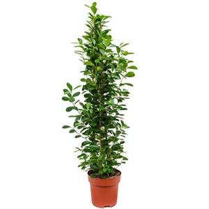 Ficus moclame L kamerplant