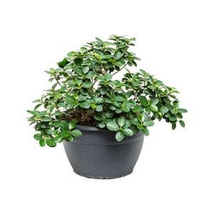 Ficus panda M kamerplant